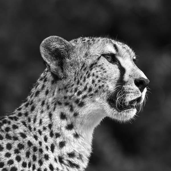 Photo-Cheetah-37-Black-&-White-600px