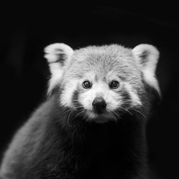 Red-Panda-01-Black-_-White-600